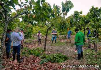 Vraem: Ashaninkas mejorarán cultivo cacaotero en Río Tambo y Pangoa - INFOREGION