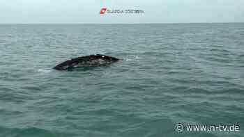 Sichtung ist extrem selten: Grauwal vor Italien bereitet Forschern Sorge