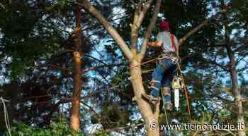 Bareggio, conclusi i lavori di manutenzione agli alberi - Ticino Notizie