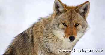 Coyotes sightings in St. John's and Mount Pearl Sunday morning | The Telegram - The Telegram