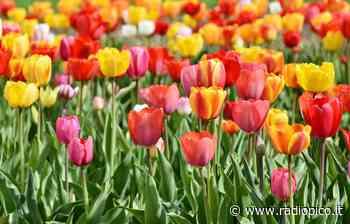A Bussolengo un campo in cui cogliere tulipani - Radio Pico - Radio Pico