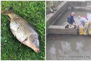 """Dodelijk virus bezorgt vissers kopzorgen: """"Die prachtige vis... (Poperinge) - Het Nieuwsblad"""