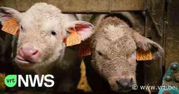 Er komt geen megastal voor 2.500 runderen in Baarle-Hertog - VRT NWS