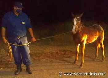 Efectivos de la policía incautaron animales sueltos en Anta - Voces Críticas