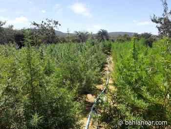 20 mil pés de maconha são apreendidos na Chapada Diamantina - bahianoar.com