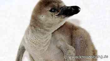 Weltvogelpark Walsrode: Nachwuchs-Boom bei Humboldt-Pinguinen - kreiszeitung.de
