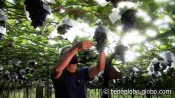 Marialva: a capital da uva fina; conheça produtores da região que tiram seu sustento dessa atividade - Gshow