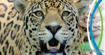 Murió Tiger, el jaguar rescatado hace 14 años en Sabana de Torres, Santander - Blu Radio
