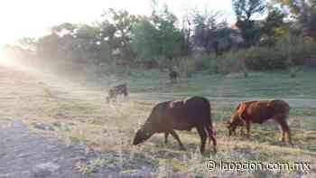 Denuncian ganado en parque encino - La Opcion