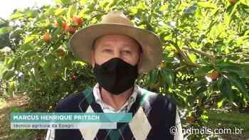 Fraiburgo se destaca na produção de caquis - ND Mais