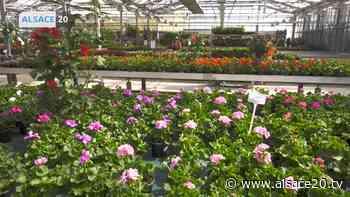 GEISPOLSHEIM : L'activité fleurit dans les jardineries. - alsace20.tv