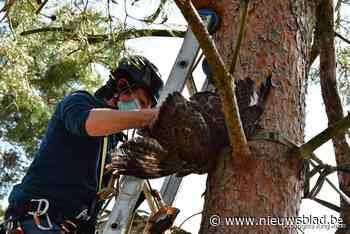 Amerikaanse buizerd met touwtjes aan de poten komt vast te zitten in boom in Pelt