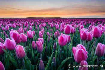 Nieuwsfoto's: Tulpen, olifantsgras en schapenprotest - Boerderij - Boerderij
