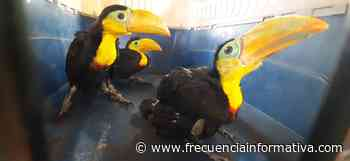 En San Félix, rescatan a tres tucanes que se mantenían en cautiverio - Chiriquí - frecuenciainformativa.com