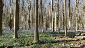 Jacinthes au bois de Hal : attention, Braine- l'Alleud interdit de stationner et de circuler près des accès et verbalise - RTBF