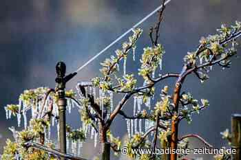 Zwetschgenblüten sind erfroren - Gottenheim - Badische Zeitung