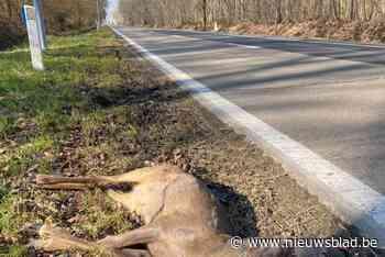 """Coronawandelaars jagen herten uit Drongengoed met vaak fatale gevolgen: """"Pas je snelheid aan"""""""