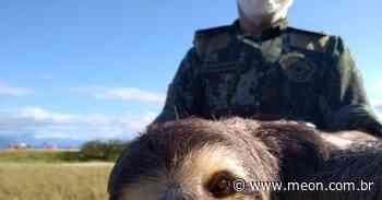 Bicho-preguiça é resgatado na praia da Mococa em Caraguatatuba - Portal Meon