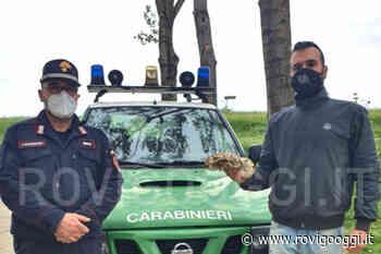 Pitone Reale recuperato a Papozze dai Carabinieri Forestali di Adria e Rovigo - RovigoOggi.it