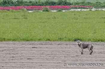 Wolf gespot dicht bij Nederlandse grens: komt hij ook onze richting uit?