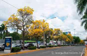 El roble amarillo ofrece espectáculo visual a la ciudad - Diario Libre