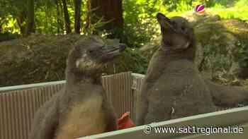 Flauschiger Pinguin-Nachwuchs im Vogelpark Walsrode - Sat.1 Regional