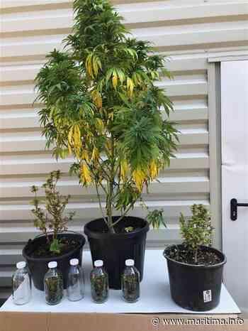 Saint-Chamas : Plusieurs plants de cannabis découverts lors d'une perquisition - Saint-Chamas - Faits-divers - Maritima.Info - Maritima.info