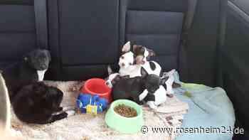 Zoll stoppt illegalen gewerblichen Hundehandel auf der BAB 94 im Markt Schwaben am 22. April - rosenheim24.de
