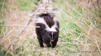 Skunk stuck inside Chick-fil-A cup rescued by Colorado police