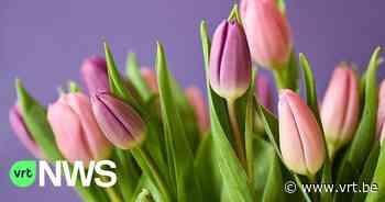 Vrijwilligers plukken 100.000 tulpen voor zorgpersoneel en districtbewoners Berendrecht-Zandvliet-Lillo - VRT NWS