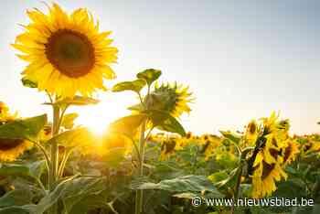 Landelijke Gilde zoekt jonge tuiniers: wie kweekt de hoogste zonnebloem? - Het Nieuwsblad