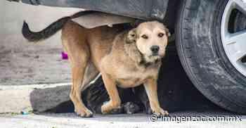 Reportan vecinos de El Orito gran cantidad de perros callejeros - Imagen de Zacatecas, el periódico de los zacatecanos