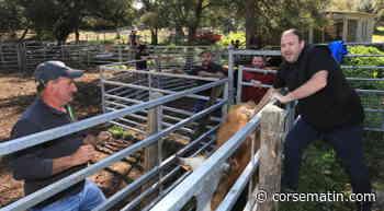 Transhumer entre Corte et Lozzi : une nécessité pour cet éleveur - Corse-Matin