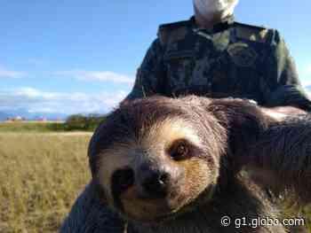 Bicho-preguiça é resgatado na Praia da Mococa em Caraguatatuba - G1