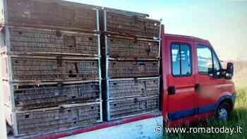 Trasportavano 500 colombi stipati in piccole gabbie, ma senza autorizzazione