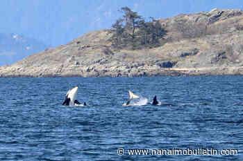 Orcas near the beach thrill whale watchers in Lantzville – Nanaimo News Bulletin - Nanaimo Bulletin