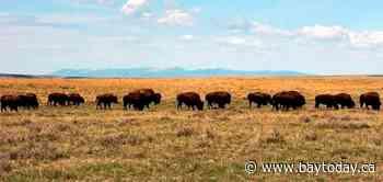 US agency to look at bringing back bison on Montana refuge