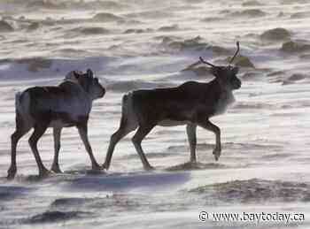 Alberta, B.C. caribou lose twice as much habitat from fire and industry as they gain
