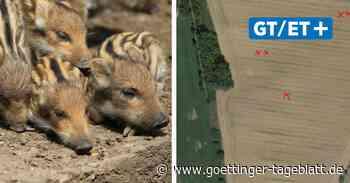 Landwirt aus Bovenden soll neun Wildschweine auf dem Feld getötet haben - Göttinger Tageblatt