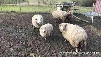 Moutons «sauvés» de l'abattage à Caudry: l'affaire classée «sous condition de régularisation» - La Voix du Nord