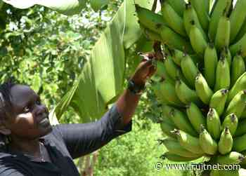 African bananas need investment
