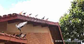 Infestação de pombos chama atenção em casa da região central de São José - Portal Meon
