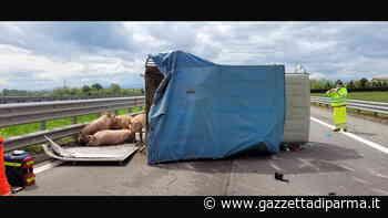 Parma Ovest: camion carico di maiali si ribalta e un furgoncino non riesce ad evitarlo: due feriti, uno è in - Gazzetta di Parma