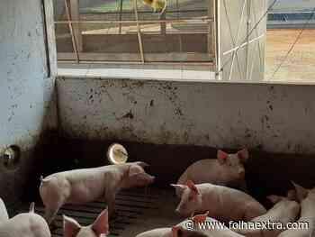 Furto de porcos causa prejuízo a produtores em Arapoti - Folha Extra