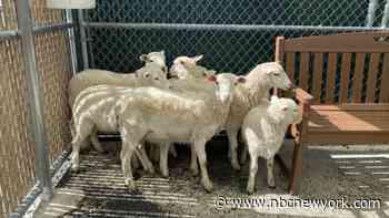 Brooklyn Homeowner Finds Flock of Lambs in Backyard