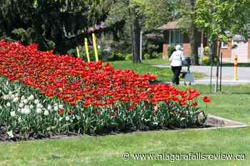 Welland's annual tulip giveaway to take place in late May - NiagaraFallsReview.ca