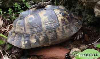 Cassano Magnago, tartarughe gettate nel Tenore - La Prealpina