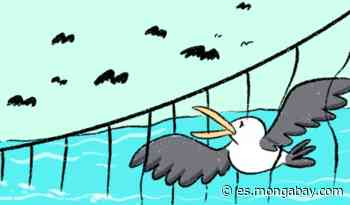 La estrategia que protege a los albatros de ceja negra en el mar argentino   Historia gráfica - Mongabay en Español