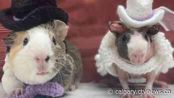 Introducing Mr. and Mrs. Guinea Pig: Calgary shelter shares unique love story - CTV Toronto