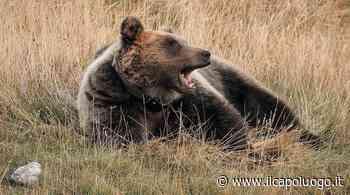 CRONACA Orso goloso a Montereale prende l'arnia con più miele e scappa - Il Capoluogo